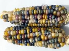 Corn Glass Gem Stone - A Beautiful Glass Gem Corn Variety!!