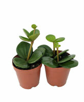 """Hope Peperomia Live Plant Easy to Grow Houseplant 2"""" Pots/2 Pack Indoor Garden"""