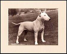 ENGLISH BULL TERRIER ABRAXUS AUSTIN DOG PHOTO PRINT MOUNTED READY TO FRAME
