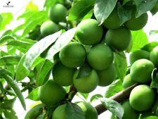 Macadamia Nut Seeds 2 pcs bag Macadamia integrifolia Rare Plant nut tree seeds