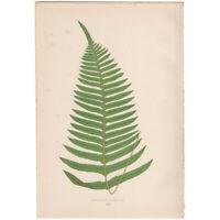 Lowe antique 1872 botanical fern print, Pl 44 Polypodium Catharinae