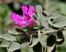 50 Seeds, Silver Leaf Leucophyllum frutescens Purple Texas Ranger Sage Cenizo