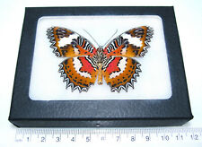 Cethosia hypsea verso Real Framed Butterfly Red Orange Indonesia