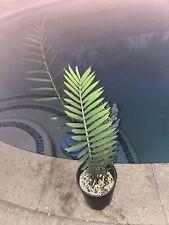 Cycad Encephalartos Lehmannii 1.5 Inch Caudex