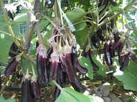 Little Finger Eggplant - Very High-Yielding Variety - 20 Australian Grown Seeds!