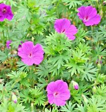 Hardy Geranium Versicolour x 1 Perennial garden ready plant 9cm pot size