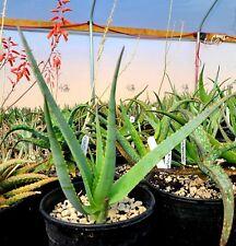 1g Rare Aloe Mandotoensis, central Madagascar, top shelf, rarely seen in gardens