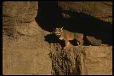 041074 Gray Fox A4 Foto Impresión