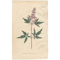 Curtis Botanical Magazine antique 1797 hand-colored engraving Pl 364 Chaste Tree