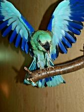 European roller bird mount  wings open pose taxidermy