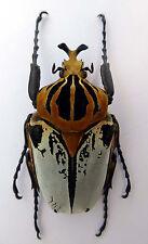 Coleoptera,Goliathus cacicus male,f.hieroglyphicus,75mm Länge,Cote d`Ivoirel, K2