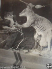 VINTAGE OLD  PHOTO of KANGAROO with JOEY IN POUCH AND CAT PETS WHO ARE FRIENDS