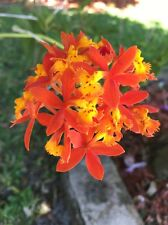 Orchid Plant Epidendrum Radicans - 3 Divisions - Bare Root