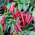 30 Red Pepper Seeds Chili Capsicum frutescens Organic Vegetables
