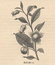C8199 Atropa belladonna - Stampa antica - 1892 Engraving