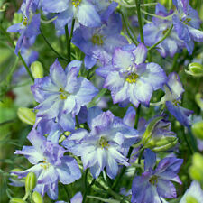 25+ Delphinium Larkspur Frosted Skies Blue & White Annual Self Sow Flower Seeds