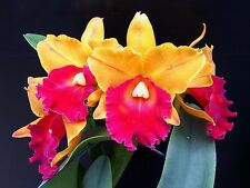 BLC TOSHIE AOKI BLC APRICOT FLARE X SUNSET BAY CATTLEYA ORCHID FRAGRANT FLOWERS