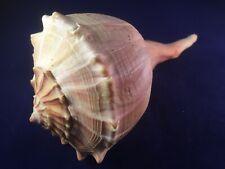 Schnecke  M210  -  Melongenidae  -  Busycon contrarium