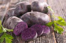 30 Purple True Potato Seeds-TPS-PURPLE EXPLOSION-Original Russian Seeds
