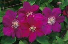 Clematis Niobe large deep red flowers climbing plant 1 litre pot