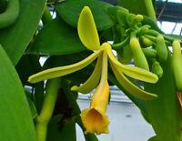 Vanila Orchid Vanilla planifolia 15+ Fresh Seeds Tahitian Cuisine Fragrant Vine