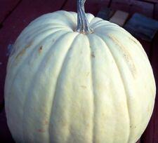 5 WHITE CASPER PUMPKIN White Skin Orange Flesh Cucurbita Maxima Vegetable Seeds