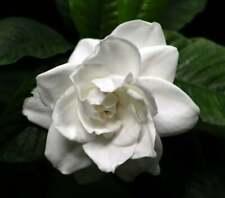 Gardenia Jasminoides Belmont - Live Plants - Beautiful & Fragrant Flowers