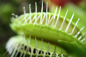 Fleischfressende Pflanze, Dionaea muscipula, 5-10 cm, selten!