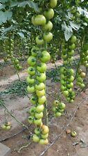 Tomato seeds... PITENZA  tomato........