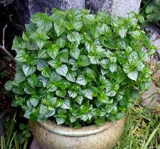 Medicinal Herb Antioxidant Exotic Healthy Salad (Peperomia Pellucida) 100+ Seeds