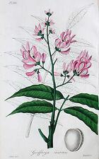 Andira inermis Cabbage Tree Blüte Droge Schlafmittel Narcotic Drug Südamerika