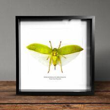 More details for false leaf katydid (pseudophyllus neriif displayed in a museum quality box frame