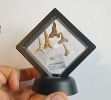 Fossil Sharks Teeth In Super Floating Frame - Morocco -  NEW!