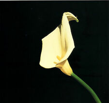 "1987 'CALLA LILY' flower photo lithograph art by ROBERT MAPPLETHORPE--14"" x 11"""