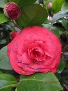 Japanische Kamelie Black Lace - Camellia japonica Black Lace