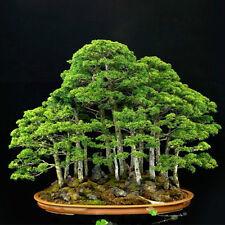 20pcs Bonsai Japanese White Pine Samen Pinus Parviflora Grünpflanzen Baum