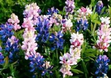"Dwarf Lupine mix ""Pixie"" 50 Seeds Colors of Blue White Pink and Violet Blooms"