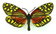 moth zygaenidae Campolytes burmanus A1- SET x1 TS Male Day flying moth Thailand