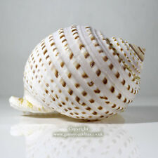 Tonna Spotted Extra Large 12.5- 15 cm Sea shell for aquarium or crafts