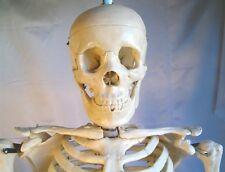 "Life-size human skeleton anatomical model 5'7"" New"