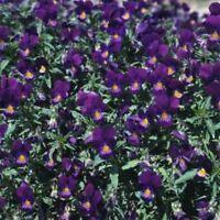 Viola- King Henry- 50 Seeds- BOGO 50% off SALE
