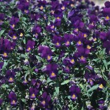 Viola- King Henry- 50 Seeds