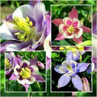 Aquilegia caeru Mischung mehrjährig  Blumen Samen Stauden Schnittblume Akelei