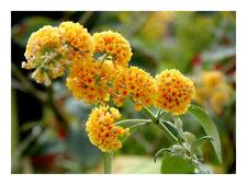 Buddleja x weyeriana Sungold-Buddleia, Butterfly Bush Plant in 3.5 '' pot