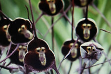 20 Samen Monkey Face Orchidee, Affengesicht,Dracula simia#634