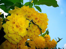 10 TECOMA STANS Yellow Bells Esperanza Flower Seeds *Combined Shipping