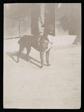 fotografia d'epoca albumina fine '800 CANE DOG HUND CHIEN