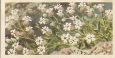 CARD IMAGE Silene uniflora Maritima sea campion Plant