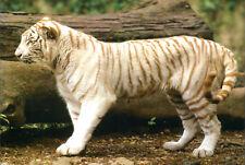 New ListingWhite Tiger Cat Wild Animal Postcard / Post Card Mint New Condition Ref: Cat526