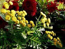 500 Graines de Tanaisie commune, Barbotine,  Tanacetum Vulgare seeds